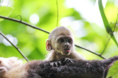 A baby white-faced capuchin monkey in Manuel Antonio National Park, Costa Rica