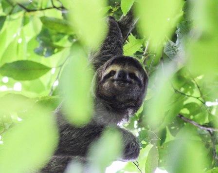 A sloth in Manuel Antonio National Park