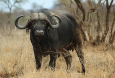 The Big Five: Buffalo