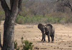 The Big Five: Elephant