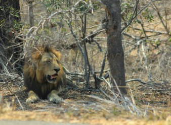 The Big Five: Lion