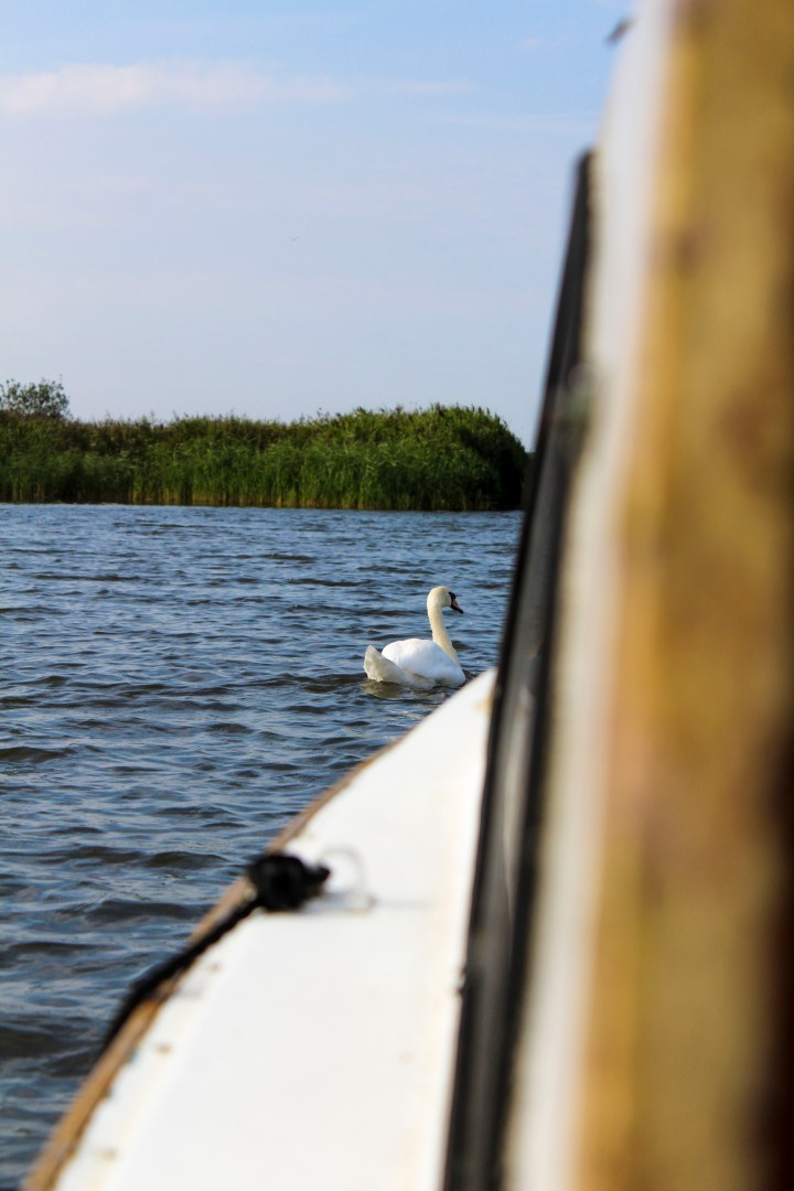 Swan on Hickling Broad, Norfolk