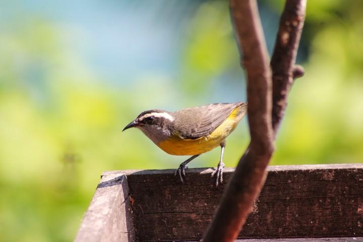 Bird at Asalem, Ilha Grande, Rio de Janeiro, Brazil