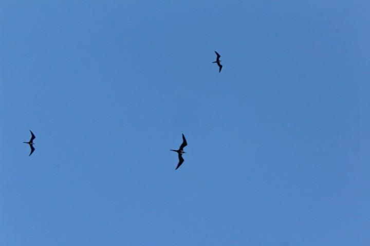 Magnificent frigatebirds over Rio de Janeiro, Brazil