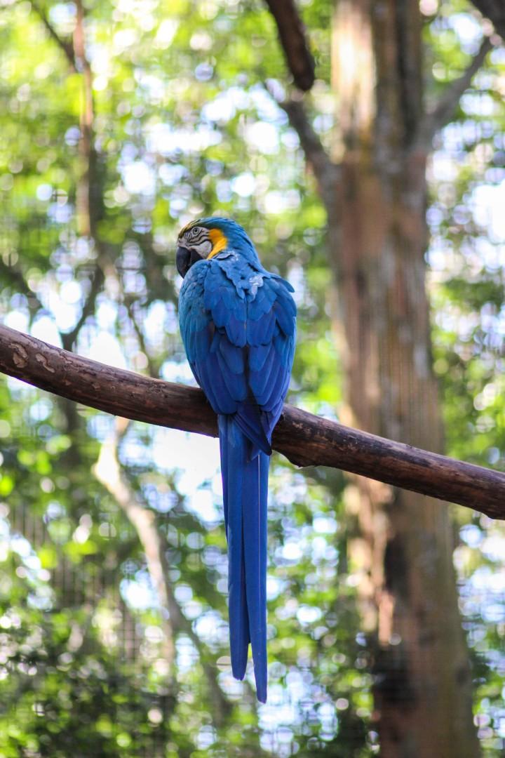 Blue and Gold Macaw at Parque das Aves, Foz do Iguaçu, Brazil