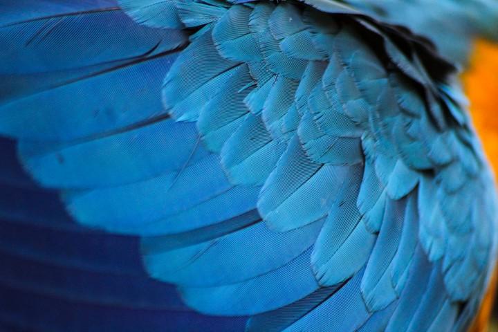 Blue and Gold Macaw feathersat Parque das Aves, Foz do Iguaçu, Brazil