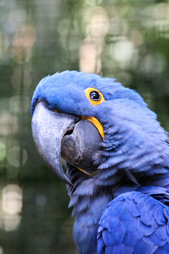 Hyacinth Macaw at Parque das Aves, Foz do Iguaçu, Brazil