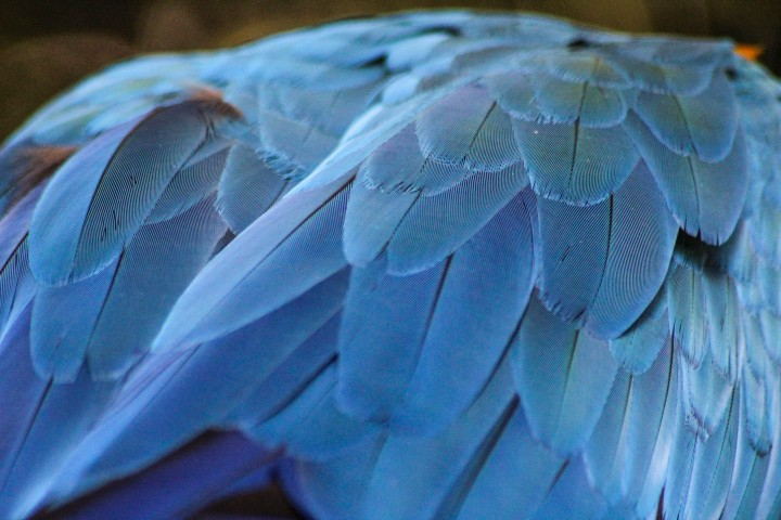 Macaw feathers at Parque das Aves, Foz do Iguaçu, Brazil