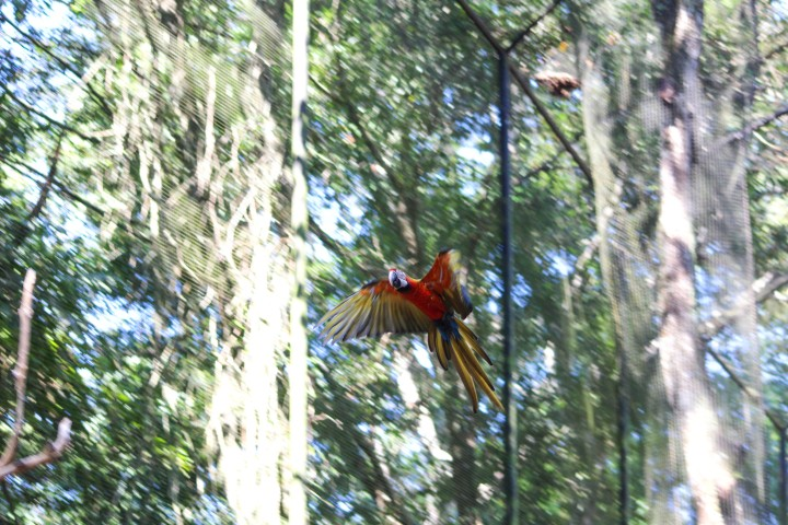 Macaw flying at Parque das Aves, Foz do Iguaçu, Brazil