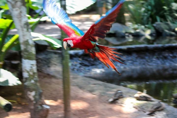Scarlet Macaw at Parque das Aves, Foz do Iguaçu, Brazil
