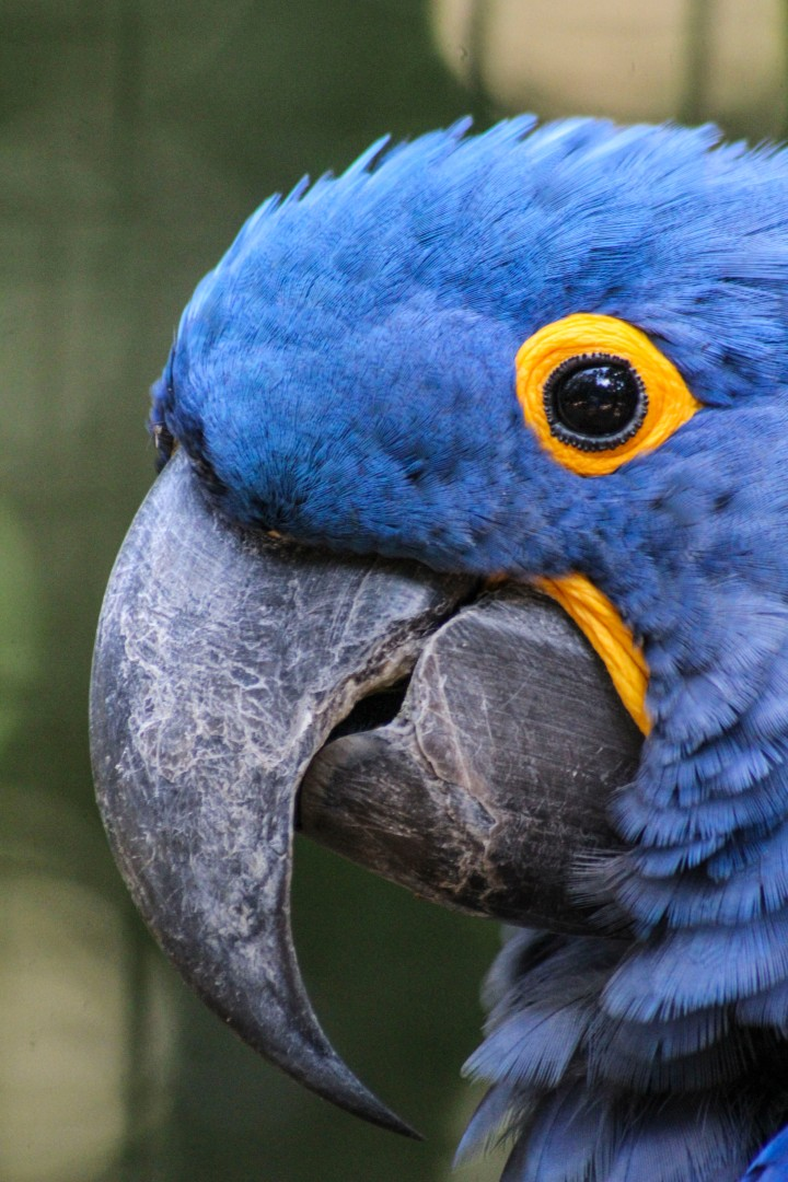 The Hyacinth Macaw at Parque das Aves, Foz do Iguaçu, Brazil